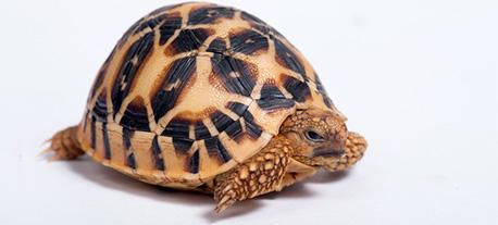 tortue marron